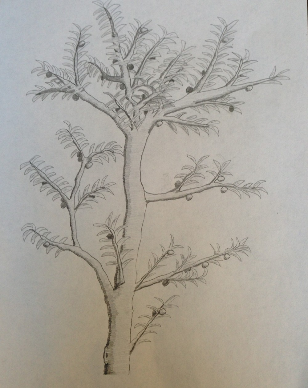 Drawing No. 11 – A Different Kind of Apple Tree